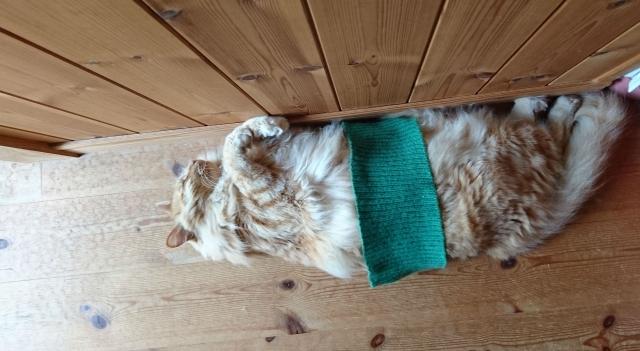 腹巻きしている猫